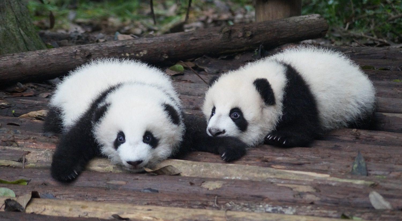 Панда-дипломатия. О национальной гордости Китая